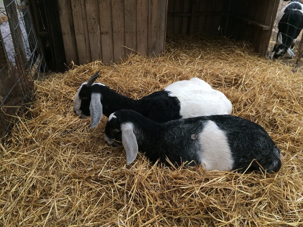 Violet and Daphne comfy in the maternity ward.